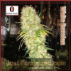 Serious Seeds White Russian Regular 11 pack
